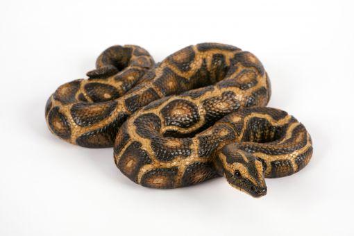 Mooie Python tuinbeeld kopen